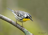 Yellow-throated Warbler (CR Courson) Tags: parulidae warblers yellowthroatedwarbler birds birdphotography nikon naturephotography nature migration migrate crcourson chuckcourson