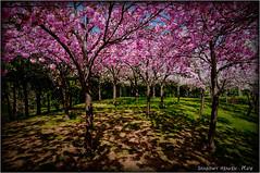 YAEZAKURA... (SHADOWY HEAVEN Aya) Tags: 18051790a0170 北海道 日本 ファインダー越しの私の世界 写真好きな人と繋がりたい 写真撮ってる人と繋がりたい 写真の奏でる私の世界 coregraphy japan hokkaido tokyocameraclub igers igersjp phosjapan picsjp outdoor landscape paysage 桜 八重桜 天神山 天神山緑地 tree trees flower flowers pink cherry cherryblossoms