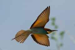 20mai18_20_prigorii prundu 20 (Valentin Groza) Tags: prigorie prigorii bee eater merops apiaster romania summer bird flight bif birdwatching outdoor