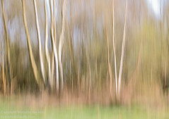 Silver birch (Malky the Photographer) Tags: nature places plants silverbirch suttonpark trees birch abstract blur movement icm