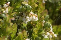 Cowberry (Tony Tooth) Tags: nikon d7100 nikkor 55300mm cowberry lingonberry flowers wildflowers vacciniumvitisidaea swineholeswood naturereserve sytaffs staffordshire ipstones staffordshiremoorlands