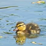 Mallard chick thumbnail