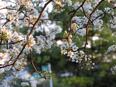 (Lunken Spotter) Tags: columbus ohio oh centralohio franklincounty plant plants tree trees bloom blooms blossom blossoms spring springtime flower flowers flowering petals leaves branches suburbs suburban suburbia suburb neighborhood nature natural green
