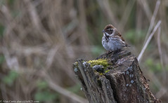 9Q6A0936 (2) (Alinbidford) Tags: alancurtis alinbidford brandonmarsh nature reedbunting wildbirds wildlife