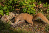 Red Squirrel (Lindell Dillon) Tags: redsquirrel alabama gulfshores bonsecour nature wildlife