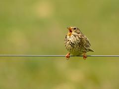 que de la gueule (frederic.laroche6) Tags: bruant proyer oiseau bird animalier crau provence nikon d7100