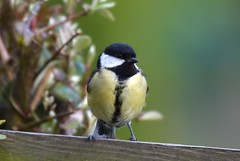 Great Tit (THE ORIGINAL WHISKY GALORE) Tags: tits lovelytits