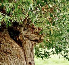 Baumgestalten (antje whv) Tags: bäume trees gesicht