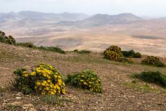Fuerteventura 2 (gsamie) Tags: 80d canarias canaryislands canon fuerteventura guillaumesamie spain atlanticocean flowers gsamie landscape mountains yellow
