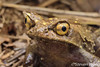 Montane Horned Frog (Megophrys kobayashii) (Steven Wong (ATKR)) Tags: steven wong siew por atkr45 stryker wsp atkr herp herping malaysia montane horned frog megophrys kobayashii