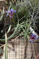 Tillandsia bergeri 4-18 (nolehace) Tags: spring nolehace sanfrancisco fz1000 418 flower bloom plant tillandsia bergeri