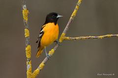 Orange on orange (Earl Reinink) Tags: spring woods bird animal nature wildlife tree oriole migration color branch earl reinink earlreinink northernoriole herdododza