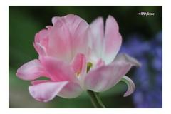 Como una caricia (mariadoloresacero) Tags: canoneos550d couleur color rose rosa nature naturaleza tulipes tulipanes tulipe tulipán fleur flower flor