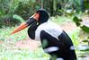 Saddle-billed stork (joseph.topacio) Tags: canon rebel t4i eos 650d eflens 28135mm ultrasonic saddlebilled stork saddle billed bird avian big large singapore zoo endangered singapura pinoy photographer ofw philippines