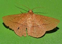 Moth Striglina cinnamomea Thyrididae Airlie Beach rainforest P1260874 (Steve & Alison1) Tags: streaky speckled moth airlie beach rainforest 30mm wingspan striglina cinnamomea thyrididae