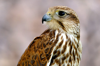Animal beauties - The hawk (#2#)