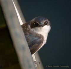 Tree Swallow (Kevin James54) Tags: lakegalena nikond850 peacevalleypark tamron150600mm animals avian bird kevingianniniphotocom swallow tachycinetabicolor treeswallow