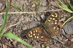 Speckled Wood Butterfly (oddbodd13) Tags: butterfly insect bug speckled speckledwood lepidoptera