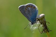 Butterfly (agnieszka.a.morawska) Tags: macrophoto macrophotography macro manuallens helios helios44m meadow bokehlicious beyondbokeh bkhq dandelion spring dof motyl butterfly