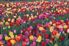 Morgen ist Muttertag (Elbmaedchen) Tags: flowers blumen blumenmeer tulpen tulpenfeld bunt colours mothersday plants flora fauna