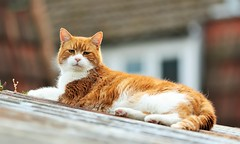 Bosco (merseymouse) Tags: cats gingercats canon5d pets animals