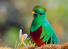 09_04_2018_IMG_8403.jpg (donnatopham) Tags: paraisoquetzal costarica resplendent paraiso resplendentquetzal