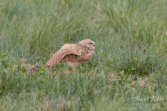 Male Burrowing Owl stretches