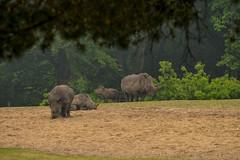 Burgers' Zoo - 14 (coopertje) Tags: arnhem thenetherlands nederland zoo dierentuin koninklijke royal burgerszoo animals rhino rhinoceros neushoorn
