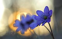 Hepatica 20 (jttoivonen) Tags: nature flower plant blue spring macro closeup bokeh sunset finland creativecommons