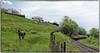 Horsing Around (Welsh Gold) Tags: 66085 4v01 hope earles sidings cwmbargoed coal train bedlinog taffbargoedvalley southwales