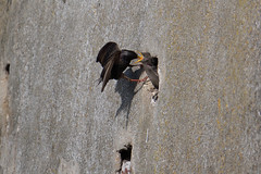 (138/365) Friday May 18th (philk_56) Tags: starling feeding bird baby wall nest hole jersey sthelier channel islands