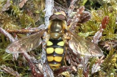 (2) syrphidae (BSCG (Badenoch and Strathspey Conservation Group)) Tags: acm insect diptera hoverfly syrphidae heathland woodlandedge