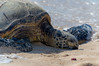 Honu at Laniakea (michaelheiner) Tags: ngc honu turtle laniakea beach water ocean sand nature asleep honolulu hawaii oahu northshore nikon