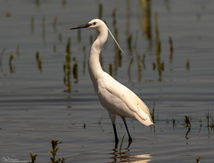 Elegant Egret (Steve (Hooky) Waddingham) Tags: bird british wild wildlife water countryside nature photography fishing