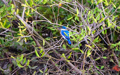 Collared Kingfisher (Todiramphus chloris) (Steve Arena) Tags: abandonedbuildingarea laemphakbia petchaburi phetchaburi thailandbirding2017 thailand 2017 nikon d750 bird birds birding collaredkingfisher kingfisher todiramphuschloris whitecollaredkingfisher mangrovekingfisher
