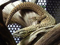 Jardin des Plantes: Ménagerie: Spiny-tailed monitor lizard (Varanus   acanthurus (John Steedman) Tags: jardindesplantes フランス france frankreich frankrijk francia parigi parijs 法国 パリ 巴黎 ménagerie spinytailedmonitorlizard varanusacanthurus lizard monitorlizard