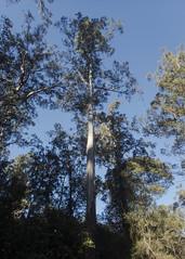Swamp Gum, Eucalyptus regnans (Baractus) Tags: tall trees walk mount field national park tasmania australia swamp gum eucalyptus regnans john oates inala nature tours