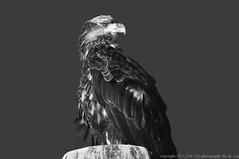 2015-11-25 Bald Eagle (B&W) (1024x680) (-jon) Tags: anacortes skagitcounty skagit washingtonstate washington salishsea pugetsound samishriver samish bayview edison darcyroad farmtomarketroad haliaeetusleucocephalus baldeagle eagle bird raptor birdofprey d90archives bw blackandwhite monochrome a266122photographyproduction