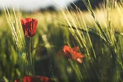 Retratando una amapola (mariusbucsa) Tags: flor campo trigo primavera horadorada amapola suave tarde calatayud aragón es españa nikkor nikkor35mm18g nikon nikond5600