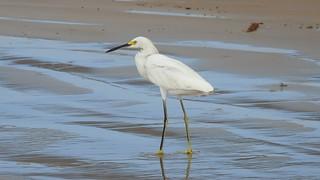 Garça-branca-pequena - Snowy Egret - explore