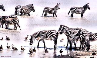 Zebras and Birds Happy Together