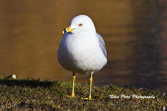 IMG_4492 (nitinpatel2) Tags: bird nature nitinpatel