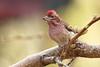 Male Cassin's Finch, Haemorhous cassinii (jlcummins - Washington State) Tags: cassinsfinch finch bird home backyardbirds yakimacounty washinton haemorhouscassinii