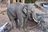 Thai the male elephant (Tambako the Jaguar) Tags: male elephant bull asiatic asian profile eating food grass hay portrait zürich zoo switzerland nikon d5