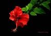 Cariño/Sweetie (Altagracia Aristy Sánchez) Tags: hibisco hibiscus cayena laromana quisqueya repúblicadominicana dominicanrepublic caribe caribbean antillas antilles trópico tropic américa fujifinepixhs10 fujihs10 altagraciaaristy fujifilmfinepixhs10