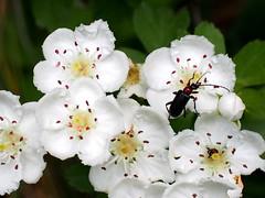 suszterbogár / rustic sailor beetle (debreczeniemoke) Tags: tavasz spring erdő forest növény plant shrub bokor virág flower galagonya hawthorn cseregalagonya kétbibésgalagonya midlandhawthorn englishhawthorn woodlandhawthorn mayflower aubépinelisse aubépineàdeuxstyles aubépineépineuse zweigriffeligeweisdorn biancospino păducel crataeguslaevigata rózsafélék rosaceae suszterbogár rusticsailorbeetle moine weichkäfer cantharisrustica lágybogárfélék cantharidae olympusem5