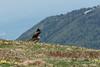 Nibbio Reale (iLaura_) Tags: nibbioreale fauna alpina bird