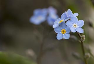 seeing double, delicate blue forget-me-nots, ne m'oubliez pas, a Honfleur garden, Honfleur, Calvados, Normandy, France