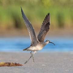 Luke Skywalker? (PeterBrannon) Tags: beach bird birding florida nature numeniusphaeopus pinellascounty sand shorebird whimbrel wildlife