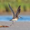 Luke Skywalker? (PeterBrannon) Tags: beach bird birding florida nature numeniusphaeopus pinellascounty sand shorebird whimbrel wildlife